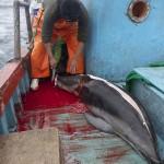 A perui halászok ezrével mészárolják le a delfineket [Videó]