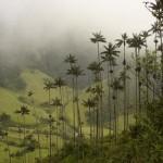 Cocora völgy – ahol világ legmagasabb pálmafái nőnek