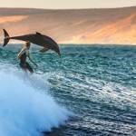 Szörfössel úszó delfinek