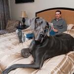Elpusztult Giant George, a világ legnagyobb kutyája