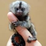 A törpe selyemmajom – a legkisebb majomfaj a világon