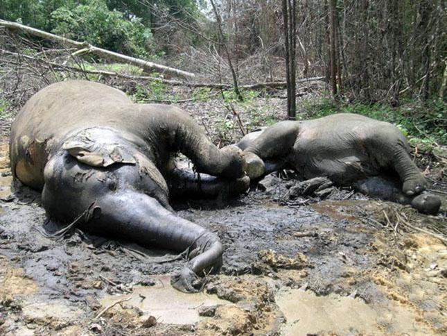 poisoned-elephant