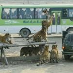 Ezeregyszáz szibériai tigris él a harpini tigris parkban