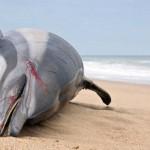 Rekord mennyiségű, 753 palackorrú delfin pusztulását okozta egy vírus