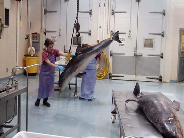 delfinpusztulás