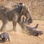 Elképesztő jelenet: Az elefánt egy másfél tonnás vízilovat dobott fel a levegőbe