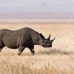 Kihalt a nyugati fekete rinocérosz