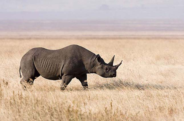 nyugati fekete rinocérosz