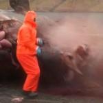 Bálna robbant egy férfire a Feröer-szigeteken
