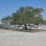 Az Élet fája – 400 éves fa a bahreini sivatagban