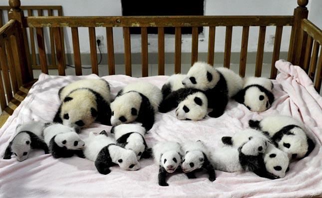 pandaovoda