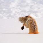 Vörös róka téli vadászaton