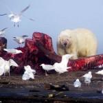 Ritka felvételek egy véres jegesmedve lakomáról