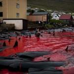 Idén is lezajlott a tömeges bálnavadászat a Feröer-szigeteknél