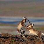 A Vrangel-sziget csodálatos élővilága