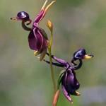 A repülő kacsa orchidea