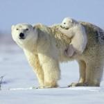 Aranyos videó egy bocsaival játszó jegesmedvéről