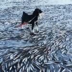 Heringek ezrei fagytak bele a tengerbe