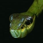 Egy hernyó, aki kígyó formájával védekezik a ragadozók ellen