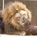 Az oroszlán és a tacskó barátsága