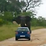 Turisták autóját borította fel egy elefánt a Kruger Nemzeti Parkban