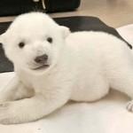 Imádnivaló jegesmedvebocs az internetezők új kedvence