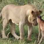 Egy borjút vett védelmébe az oroszlán