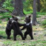 A nap képe – táncoló medvebocsok