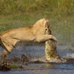 Krokodiltól védte meg kölykeit az oroszlán