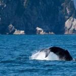 Az űrből számolják meg a bálnákat a kutatók