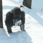Így örültek a hónak a  Nyíregyházi Állatpark gorillái