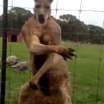 Elképesztő videó – izmait mutogatja egy kenguru