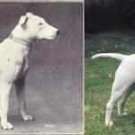 Megdöbbentő változásokat eredményezett a fajtatiszta kutyák tenyésztése az elmúlt száz évben