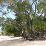 Manchineel-fa – a világ egyik legmérgezőbb növénye