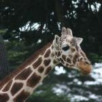 Gyerekek előtt darabolták fel a koppenhágai állatkertben megölt kis zsiráfot