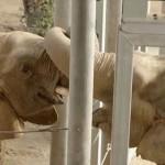 Mila, az elefánt 37 év után találkozott újra egy másik elefánttal
