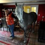 """""""Beköltözött"""" gazdája házába a ló"""