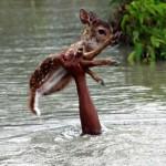 Fiatal fiú mentette ki a megáradt folyóból az őzikét