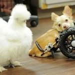 Roo, a kétlábú csivava és Penny, a selyemtyúk barátsága