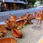 Ritka látványosság – a város utcáin pihen a szarvascsorda [videó]