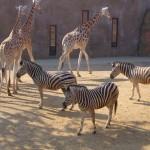 Évente 3000-5000 állatot pusztítanak el az európai állatkertekben