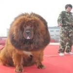 Több mint 430 millió forintot fizettek a világ egyik legdrágább kutyájáért