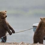 A legjobb pillanatban elkapott képek medvékről