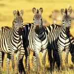 Kiderült, miért csíkos a zebra