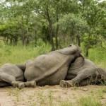 Részeg elefántok a Kruger Nemzeti Parkban