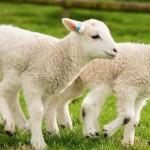Két hatlábú bárány született egy brit gazda farmján