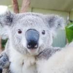 Fényképezkedő koalák a Sydney Állatkertben