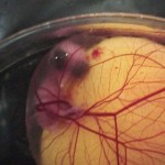 A baromfi-embrió 21 napos fejlődése
