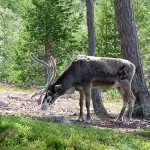 Hatvanezer rénszarvas halt éhen Oroszország északi részén