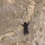 Hihetetlen ügyességű hegymászó medvék egy függőleges sziklafalon